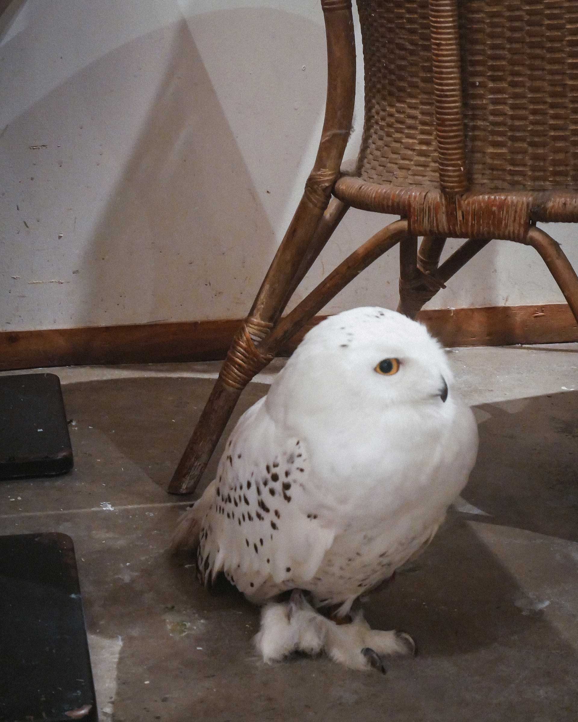 Snowy Owl : Sea-chan at Cafe HOOT HOOT