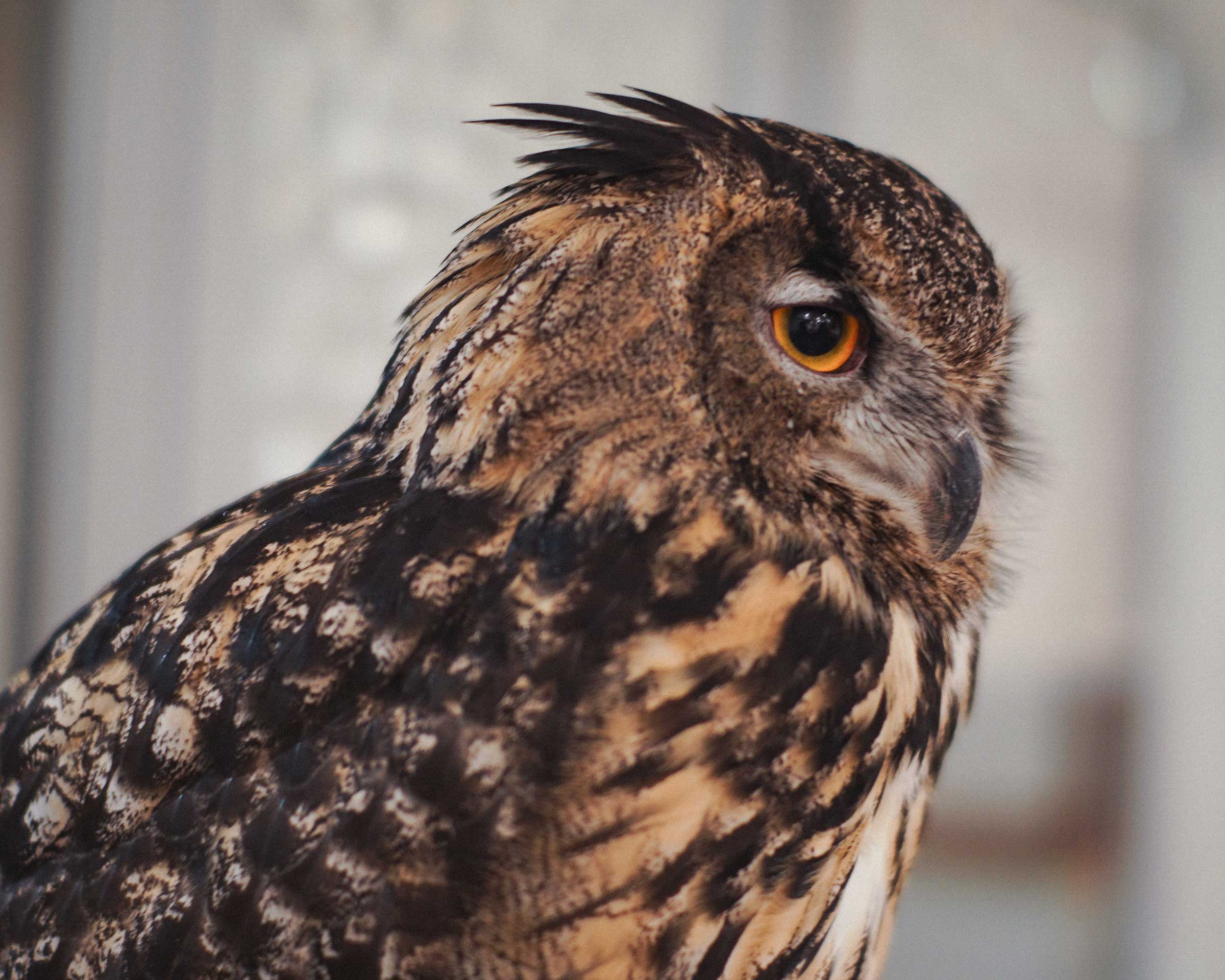 Eurasion Eagle Owl : Yu-kun at Cafe HOOT HOOT