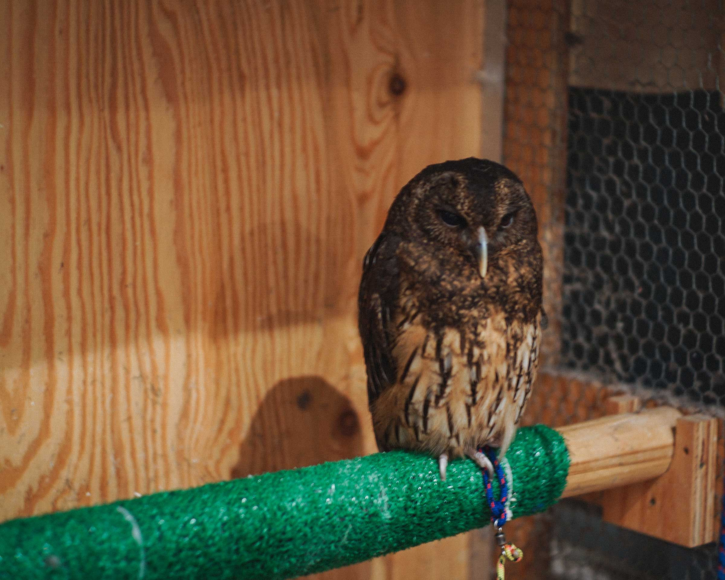 Mottled Owl : Hina-chan at Cafe HOOT HOOT