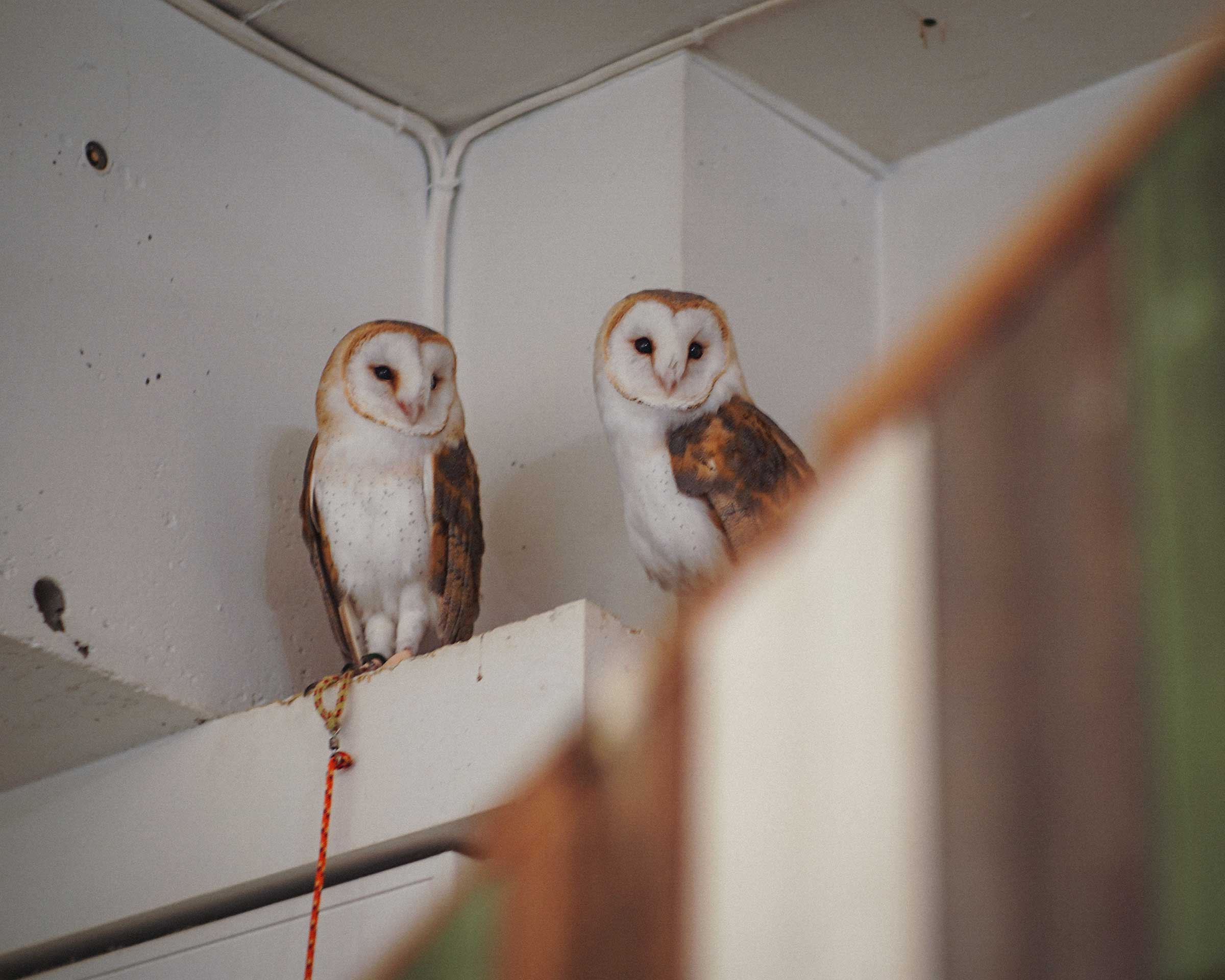 Barn Owls : Men-chan & Menmen at Cafe HOOT HOOT